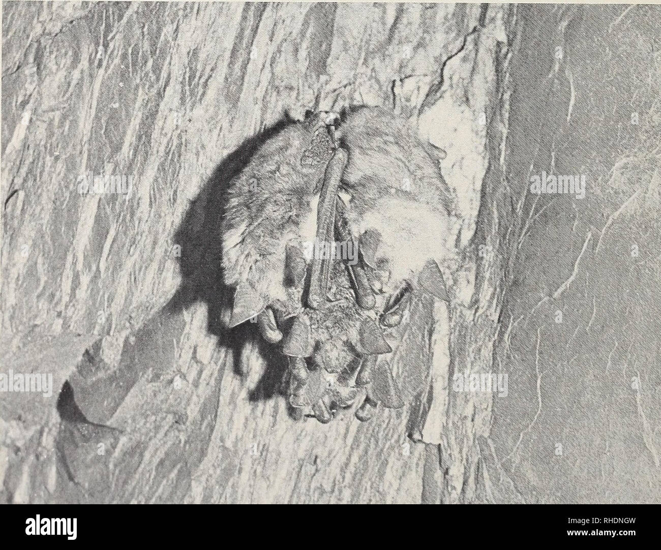 . Bonner zoologische Monographien. Zoology. Fig. 2: Common dormouse (Glis glis) in natural hibernation. Note the ball-like position.. Fig. 3: A group of hibernating bats (Myotis myotis) in a cave.. Please note that these images are extracted from scanned page images that may have been digitally enhanced for readability - coloration and appearance of these illustrations may not perfectly resemble the original work.. Bonn, Zoologisches Forschungsinstitut und Museum Alexander Koenig - Stock Image