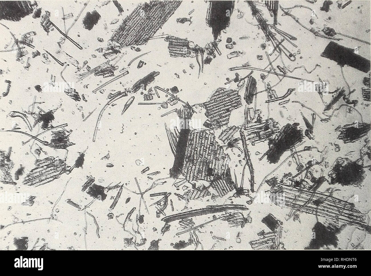 . Bonner zoologische Monographien. Zoology. 234. Fig. 1: Microscopic view of cell fragments from a faecal sample of Otomys typus. The larger cell compartments, with long, nearly rectangular cells, are Festuca pilgeri. disjunct, mainly restricted to montane habitats in tropical Africa and to South African grasslands. These distribution patterns seem to be the results of climatic changes and competition with Murinae, which invaded Africa in the early Pliocene (Denys & Jaeger 1986, Denys 1989). Otomys barbouri is endemic to the Afroalpine zone of Mt Elgon. This species was described by Lawren - Stock Image