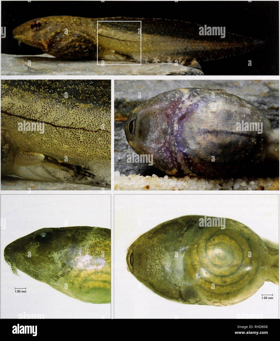. Bonner zoologische Monographien. Zoology. 1 [AAS, DESCRIBING EAST MALAYSIAN TADPOLE DIVERSITY. FIG. 1. Lateral view of Hylarana nicobariensis (top) from Sabah, digital photograph of an anaesthetised specimen set up in a mini-aquarium (20 x 10 x 4 cm, WHD) (Nikon D80 [10 megapixel sensor], Sigma Macro 105 mm; ISO 250, f/16, wirelessly controlled SB 600 flash from top). In most species a black back- ground is suitable to show the tail fin contour. A magnification (middle left) of the cropped part of the top image (white square) shows the level of detail and limits of resolution with the camera - Stock Image