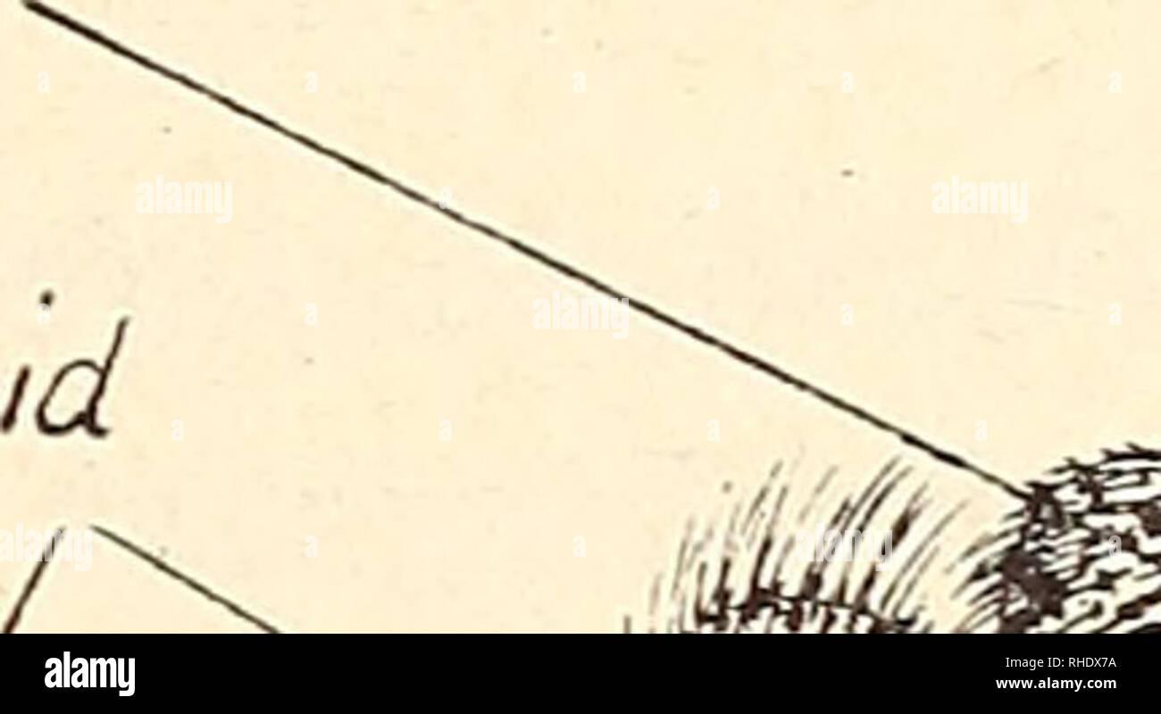 . Bonner zoologische Beiträge : Herausgeber: Zoologisches Forschungsinstitut und Museum Alexander Koenig, Bonn. Biology; Zoology. Heft 1 1/1950 Neue Típula-Avien aus Italien 73 die 9 von saccai und handschiniana n. sp. auch stark verkümmerte Hal- teren, während diejenigen von jranzi n. sp. und eine noch unbeschriebene Art aus der Steiermark normale, langgestielte Halteren tragen. Ihnen schließt sich das innerhalb derselben Untergattung etwas entfernter stehende, fast ebensostark flügelreduzierte 9 der etwas aberranten Herbst- art fragilicornis Riedel an. Tipula (Vestiplex) handschiniana n. sp. Stock Photo