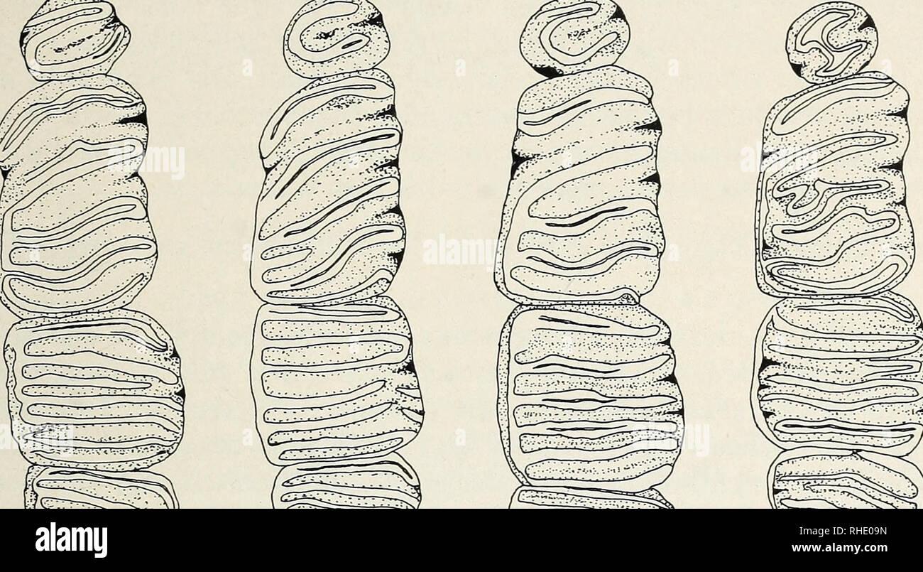 . Bonner zoologische Beiträge : Herausgeber: Zoologisches Forschungsinstitut und Museum Alexander Koenig, Bonn. Biology; Zoology. 34 (1983) Heft 4 Die Haselmaus in der Türkei 423. I 1 Abb. 3: Vergleich der oberen Molaren der Unterarten von Muscardinus avellanarius. Von links nach rechts: avellanarius (ZFMK 47.29), zeus (ZFMK 77.99), abanticus ssp.n. (Holotypus, FFBB 9274), trapezius (E.K. 230). MaÃstab 1 mm. Länge Breite Länge re i»e r-19 4 Ff LQ8 4o Ir. ab. ze. av. tr ab. ze. av i-15 â 10 4 HHr - 4 L-Q8 Hl9 lr. ab. ze. av. Ir ab. ze. av. Abb. 4: Vergleich von ZahnmaÃen (Länge und Breite Stock Photo