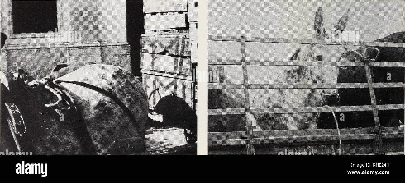 . Bonner zoologische Beiträge : Herausgeber: Zoologisches Forschungsinstitut und Museum Alexander Koenig, Bonn. Biology; Zoology. 244 E. von Lehmann Bonn, zool. Beitr. Farbflecken auf dunkler, geschimmelter bis albinotischer Haut) ist zuletzt 1981 von mir ausführlich besprochen worden, und ich erwähnte 1951 auch das berühmte getigerte Maultier, von dem ein großes Gemälde früher im Naturhistorischen Museum in Salzburg hing. Das Maultier war ein Scha- brackentiger, hatte also nur die Kruppe gefleckt. — Wie wir wissen, kommt die Tigerzeichnung von den Pferden einer Tatarenhorde in Zentralasien un - Stock Image
