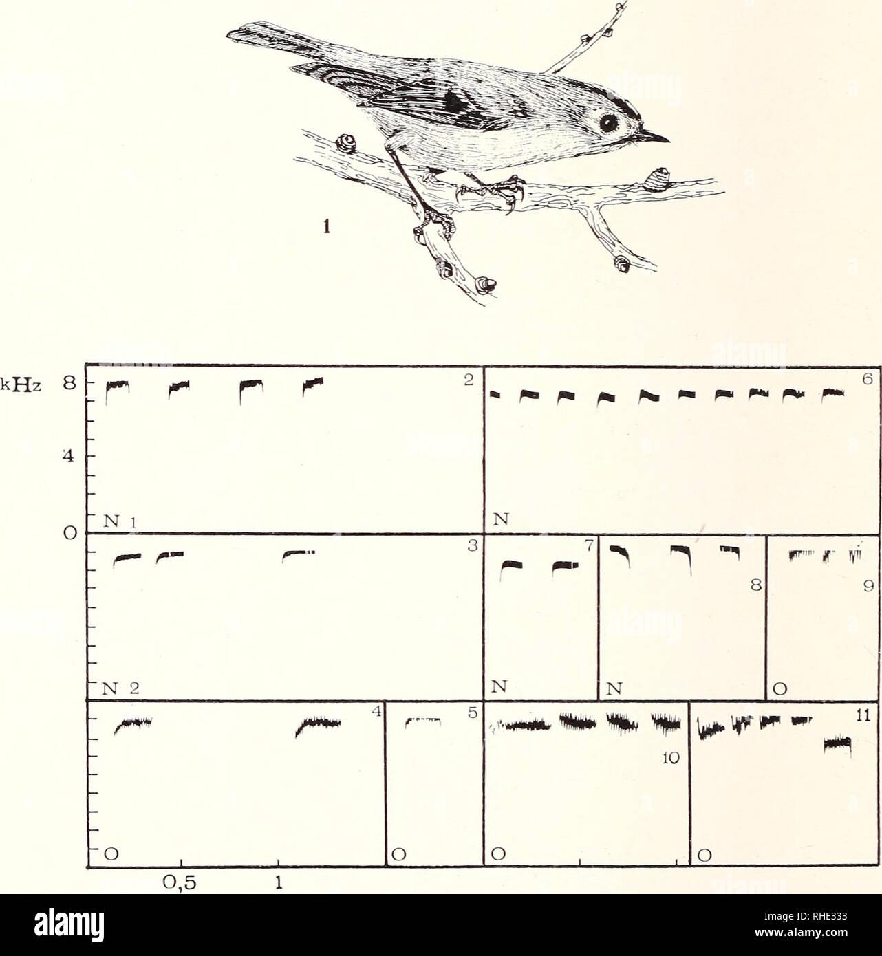 """. Bonner zoologische Monographien. Zoology. 60 führen ihr bauendes 9 zum Nest, in Volieren das brütende 9 zur Futter- stelle. WG- und SG-9 provozieren mit Zeigeflügen eine Hetzkopula. 6 rempeln ein desinteressiertes 9 mitunter im Zeigeflug an und veran- lassen es möglicherweise zu folgen (""""pouncing"""", Nice 1943: 147, Curio 1959: 36). Zeigeflüge der Eltern ermuntern flügge Junge zum Ortswechsel, möglicherweise auch zum Verlassen des Nests. WG-Eltern führten so 9. Abb. 19/1 — 11: Feindverhalten (IV,4.). WG 1—5, SG 6—11. 1: Einfrieren. 2, 3, 6—8: kurzer Alarm (N-Laute), verschiedene S- 4, 5,  Stock Photo"""