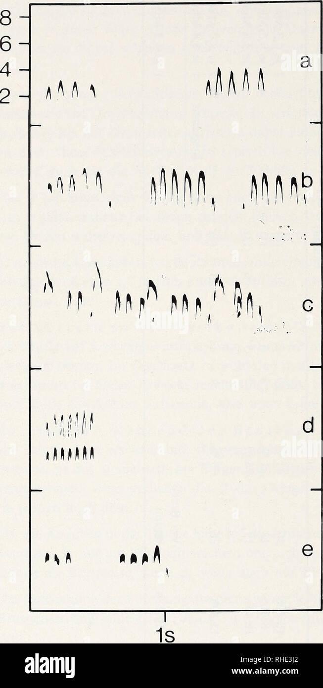 """. Bonner zoologische Monographien. Zoology. kHz. Abb. 24: Rufe von Sitta p. pyg- maea, Golden Gate Park, San Francisco: a Wispernder Einzelvogel auf dem Brutbaum. b Weibchen allein, an Bruthöhle. c Ein Paar auf dem Brutbaum. d """"Rollen"""" = aneinandergereihte Stimmfühlungslaute bei der Nahrungssuche. e Paar am Stamm bei Nahrungs- suche. gramm ist zu ersehen, daß die Einzellaute ähnlich sind, jedoch in der Geschwindigkeit differieren. Der Unterschied zeigte sich schon im Brutgebiet in Flagstaff: Die Annäherung an die Schallquelle war deutlich geringer, wenn die Laute aus San Francisco zu höre - Stock Image"""