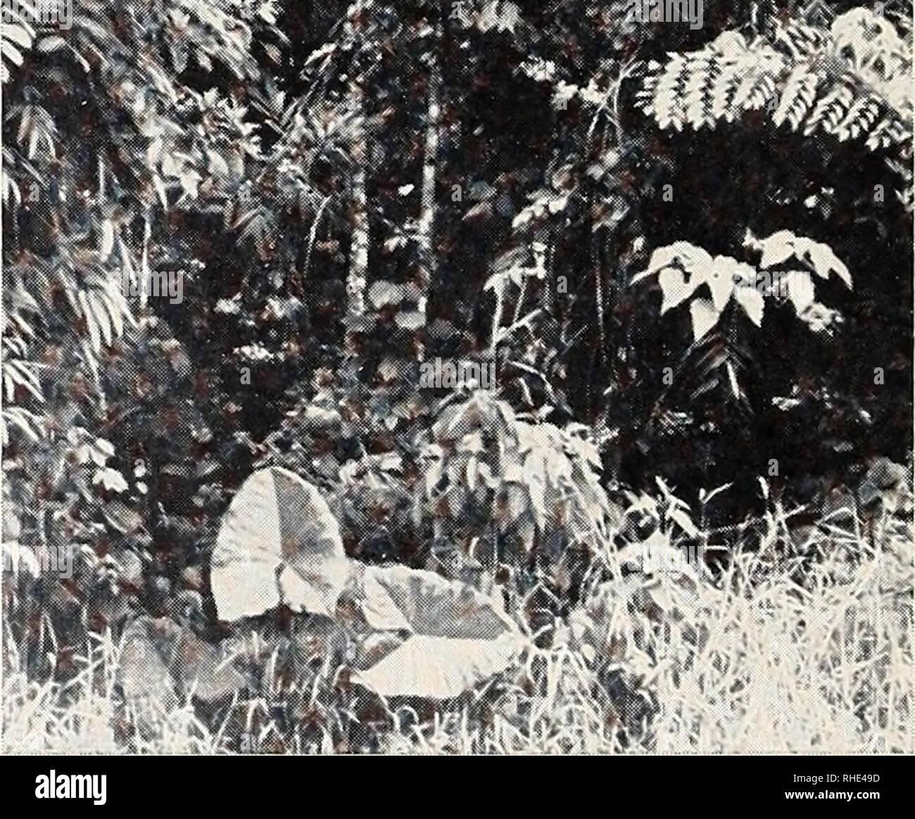 . Bonner zoologische Beiträge : Herausgeber: Zoologisches Forschungsinstitut und Museum Alexander Koenig, Bonn. Biology; Zoology. 164 K.-H. Lüling zooi Beitr. color. 2 Dutzend wurden von mir dort gefangen, einige davon in Alkohol und Bouin konserviert, andere lebend mitgenommen, von denen allerdings in den ersten Tagen einige eingingen (Fangschock?). 14 ausgefärbte Tiere (2 davon noch nicht voll erwachsen) transportierte ich nach Europa. In ihrem vegetationsarmen Biotop beobachtete ich die Tiere, wie sie kaum lichtscheu und kaum deckungsbedürftig zwischen der Vegetation saßen, wobei es gar nic - Stock Image