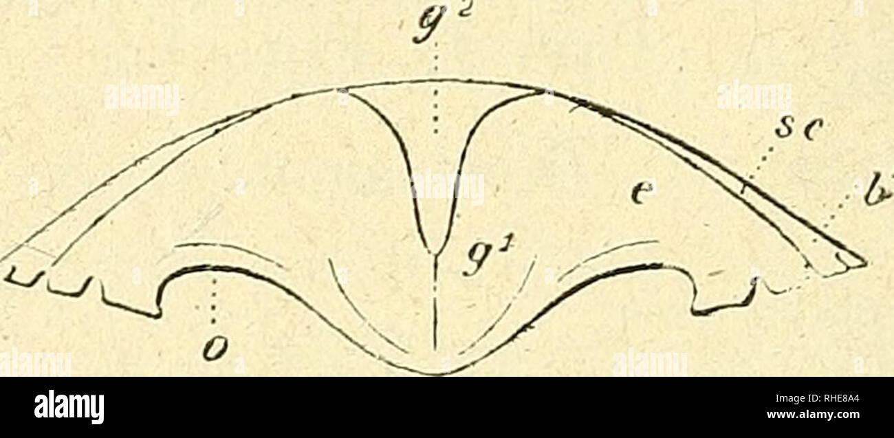 """. Bollettino della Società zoologica italiana. Zoology; Zoology. â¢v* Fig. 3.. Fig. 4 Distefania sicula gr. nat. Fig. 3. - Cefalotorace : sf solco frontale, se solco cervicale, sp solco- posteriore, gx lobi epi-e-protogastrici, g"""" lobi meso-ed-ipogastrici, g3 lobo nrogastrico, e regione genitale, cs regione cardiaca, e regione epatica, &1' lobo epibranchiale, b2 lobi meso-e-metabranchiali. Fig. 4. - Cefalo!orace visto davanti: r rostro, o cavità orbitali g1 lobi epi-e-protogastrici, g"""" lobi meso-ed-ipogastrici, se solco' cervicale, e regione epaticar b1 lobo epibranchiale. Le var - Stock Image"""