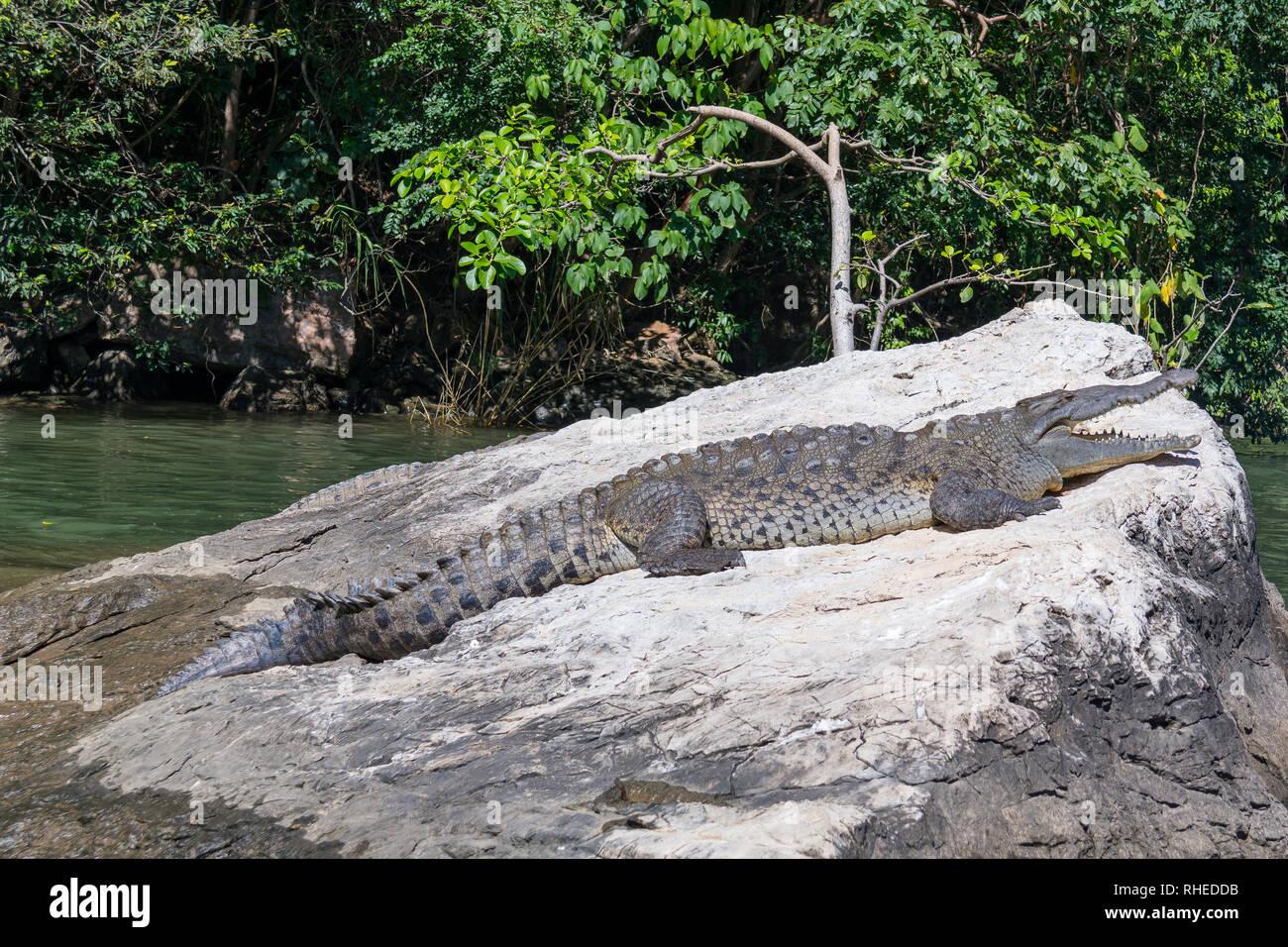 Crocodile in Cañón del Sumidero, Chiapas, Mexico - Stock Image