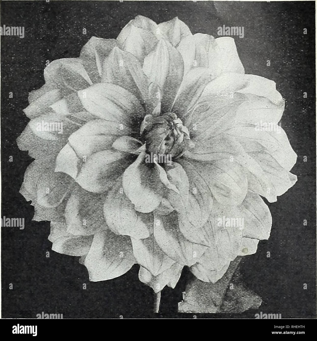 ". Bolgiano's ""prosperity"" tomato. Seeds Maryland Baltimore Catalogs; Vegetables Maryland Baltimore Catalogs; Flowers Maryland Baltimore Catalogs; Fruit Maryland Baltimore Catalogs; Grasses Maryland Baltimore Catalogs; Gardening Maryland Baltimore Equipment and supplies Catalogs; Nurseries (Horticulture) Maryland Baltimore Catalogs. Bolgiano's Dahlia Roots For 1913 61 Dahlias Containing All The Most Recent Introductions of Both Europe and America We will sell 6 at Dozen rate. Any 215c-DahliasforZ5c. Add 8c per root if to go by mail. Important. We supply undivided Field-Grown ""Clu - Stock Image"