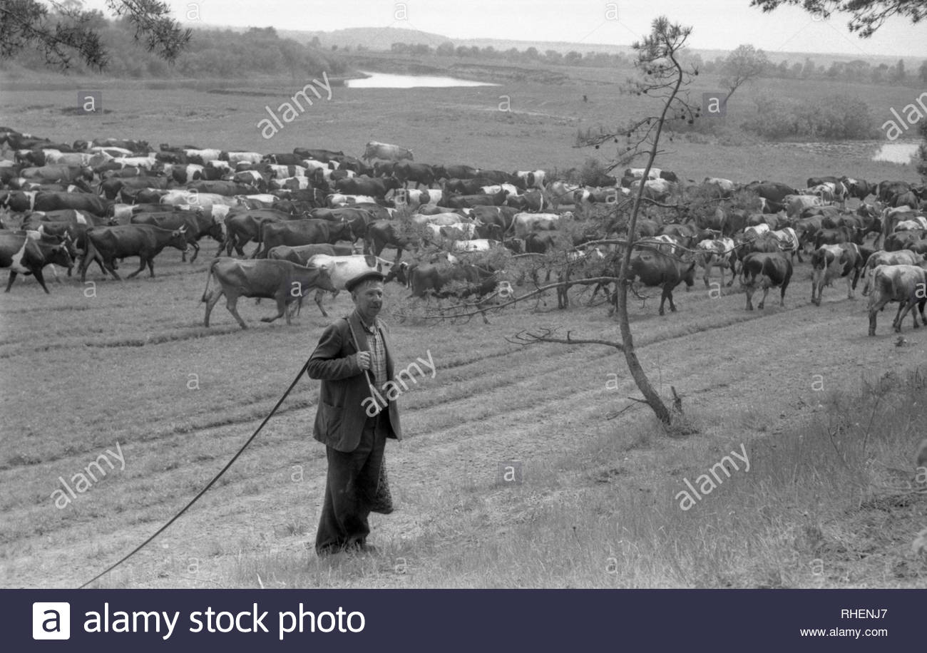 Summer. The man is herding cows near the river. It was a hot day. The villager climbs the hill to rest in the shade of the trees. In the hands of farmer is whip which manages animals. He carries the bag with food.Meanwhile, the huge herd of cows is moving along the pasture along the river. - Stock Image