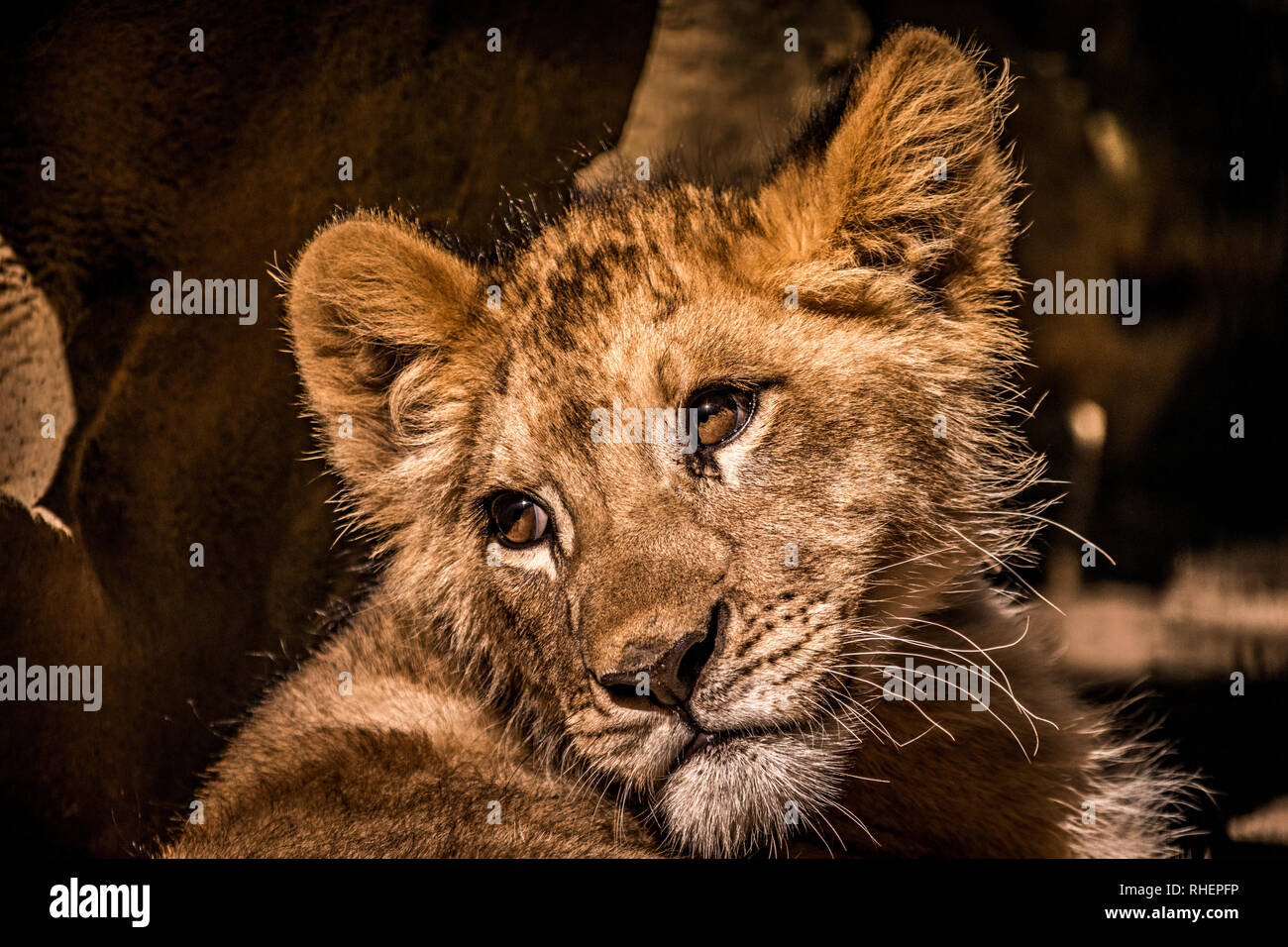 an amazing photo of a curious baby lion cub posing for a great portrait shot Stock Photo