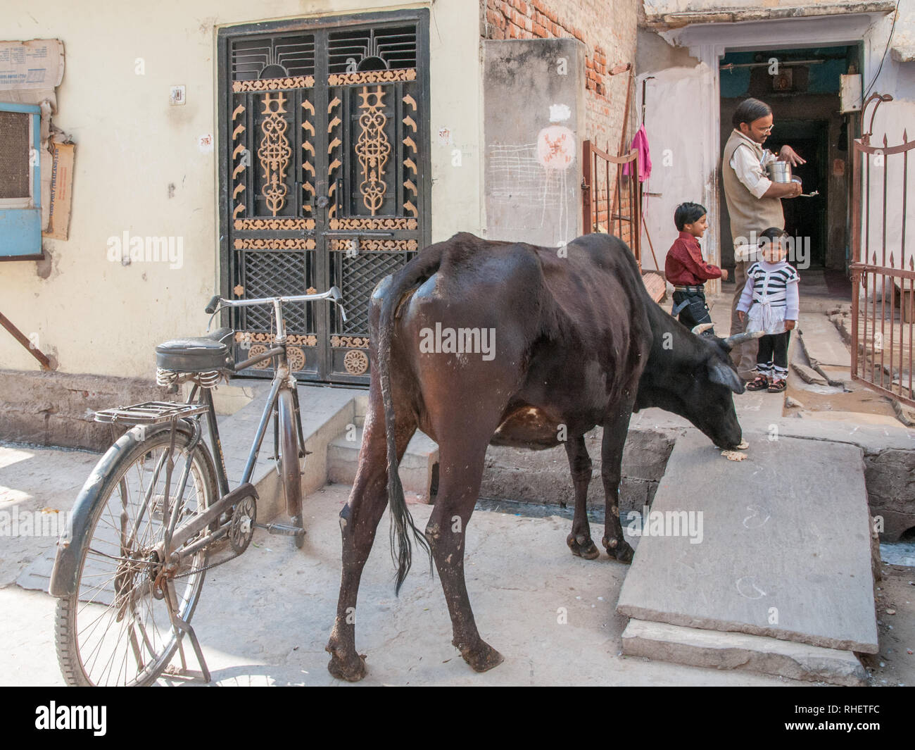 Strolling cow is fed with naan bread on a morning by a family in Jaipur. In Hiduism cows are sacred and respected animals. Stock Photo