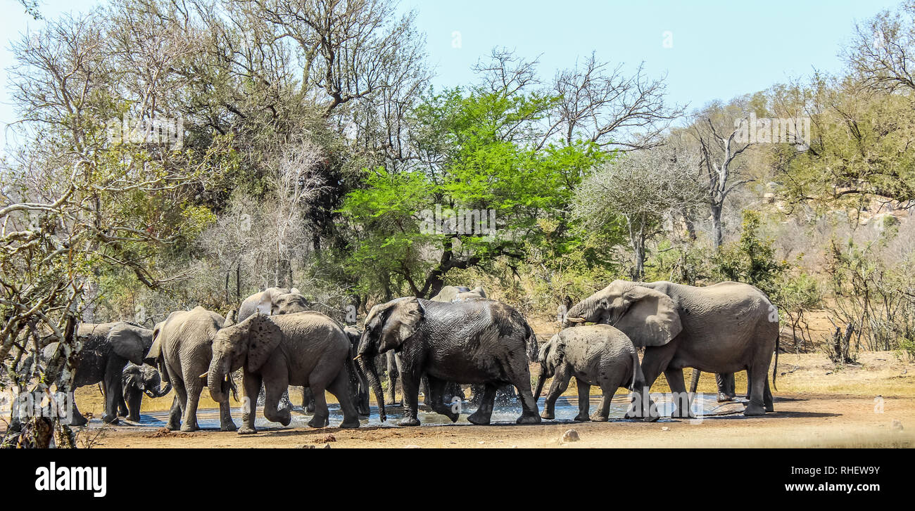 Big breeding herd and family of elephants in Kruger national park , Africa during a hot summer day - Stock Image