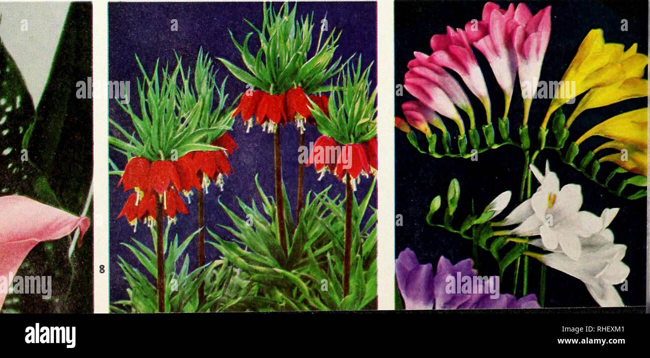 3e2671e3d Nurseries (Horticulture) Catalogs  Bulbs (Plants) Catalogs  Seeds Catalogs   Trees Catalogs. SPECIES CROCUS Spring-Flowering E. P. Bowles.