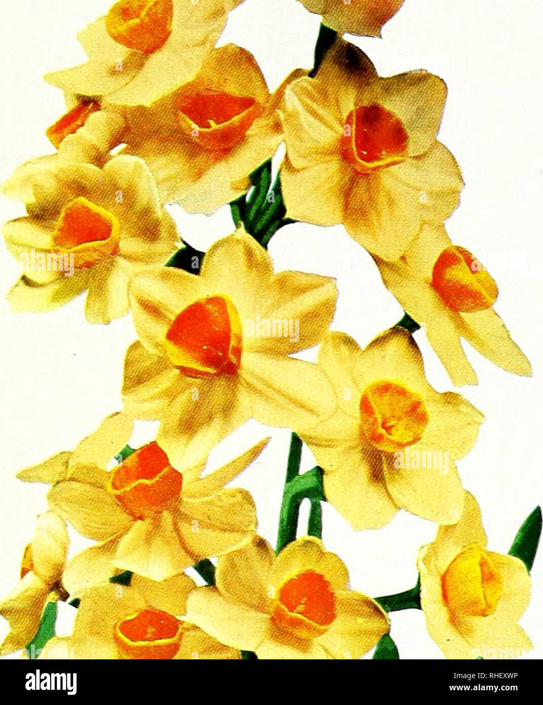 ". Bolgiano's fall 1969. Nurseries (Horticulture) Catalogs; Bulbs (Plants) Catalogs; Seeds Catalogs; Trees Catalogs. FOR COLORFUL SPRING GARDENS—PLANT Va^^odiU THIS FALL. JbJ# GRAND SOLEIL D'OR Bulbs For Indoor Culture Paper-White Narcissus. Dishes of these, grown in pebbles and water, can be had in bloom con- tinuously from Thanksgiving until Easter. 3 for 65c.; S2.30 per doz.; S17.25 per 100. Grand Soieil d'Or. ""Yellow Paper-White"" with deep orange cup. Fragrant. Treat the same as the regular Paper-Whites. 3 for SI.00; S3.65 per doz.;S27.00perl00. Chinese Sacred Lily. Flowers in clu - Stock Image"