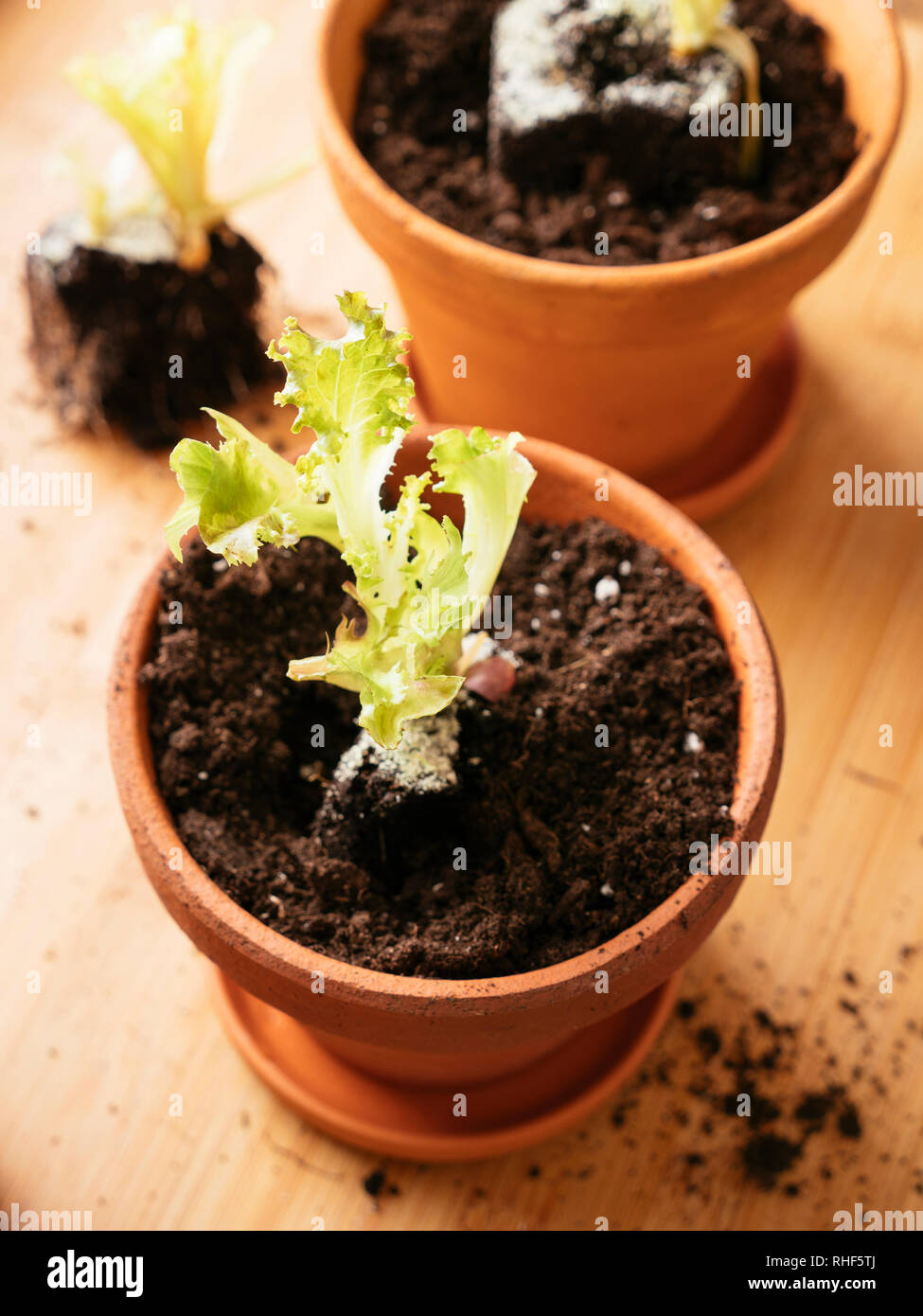 Lettuce scraps with roots replanted in a pot to produce a new lettuce. Stock Photo
