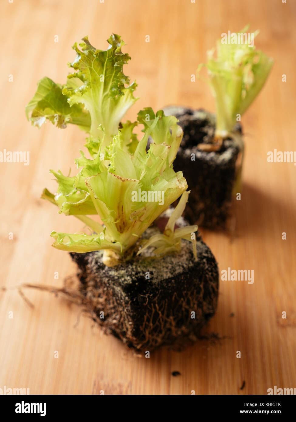 Lettuce scraps with roots Stock Photo