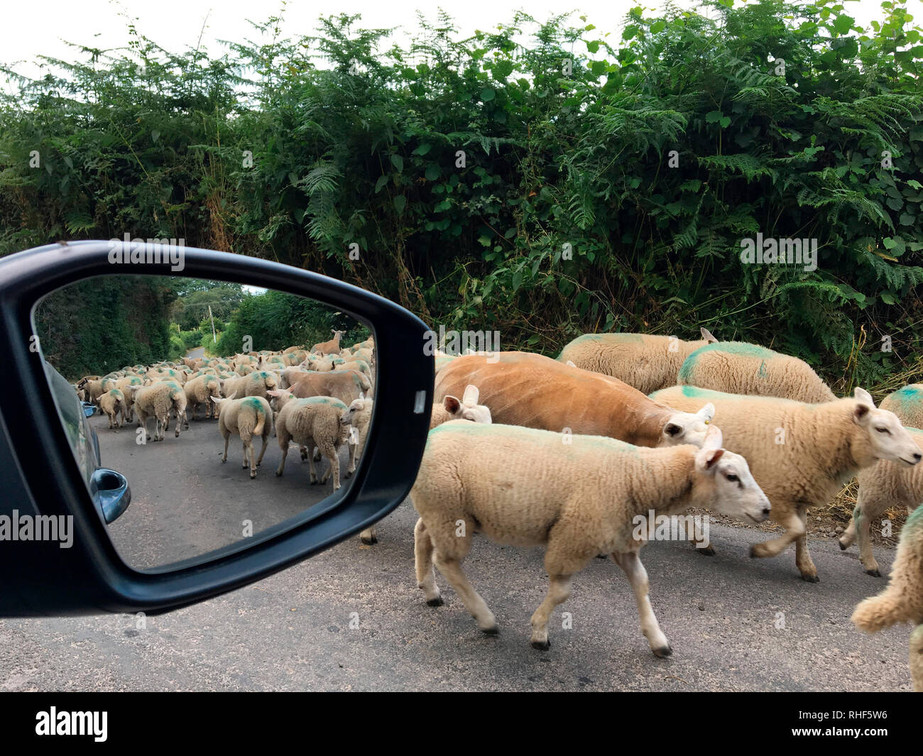 Flock of sheep being moved to new grazing on rural road near Hay-on-Wye, Powys, Wales, UK - Stock Image