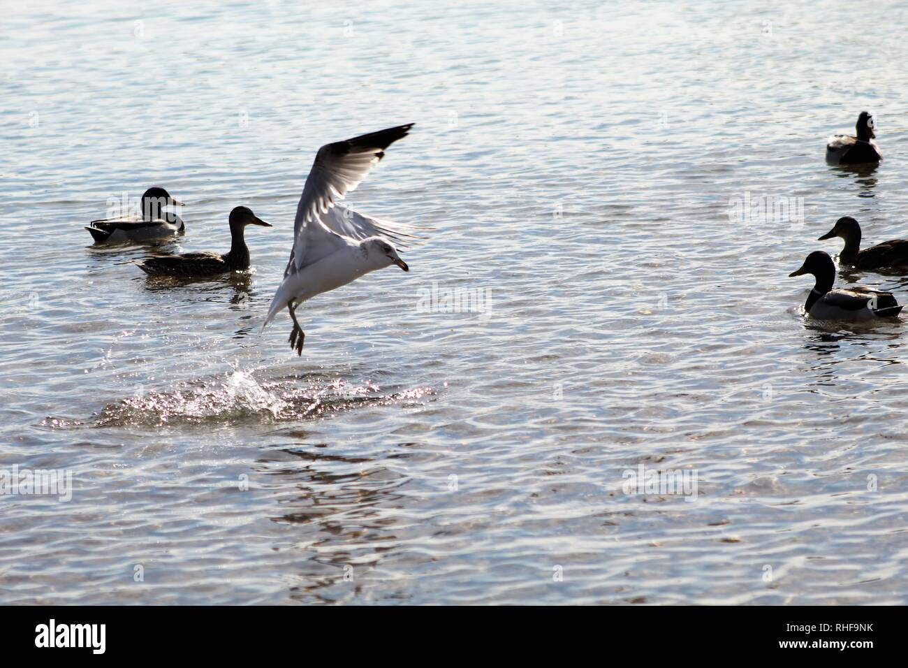 Birds on the Colorado River dominating the ducks - Stock Image