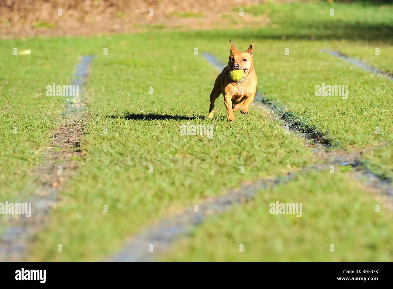 dog running with ball in its mouth - Stock Image