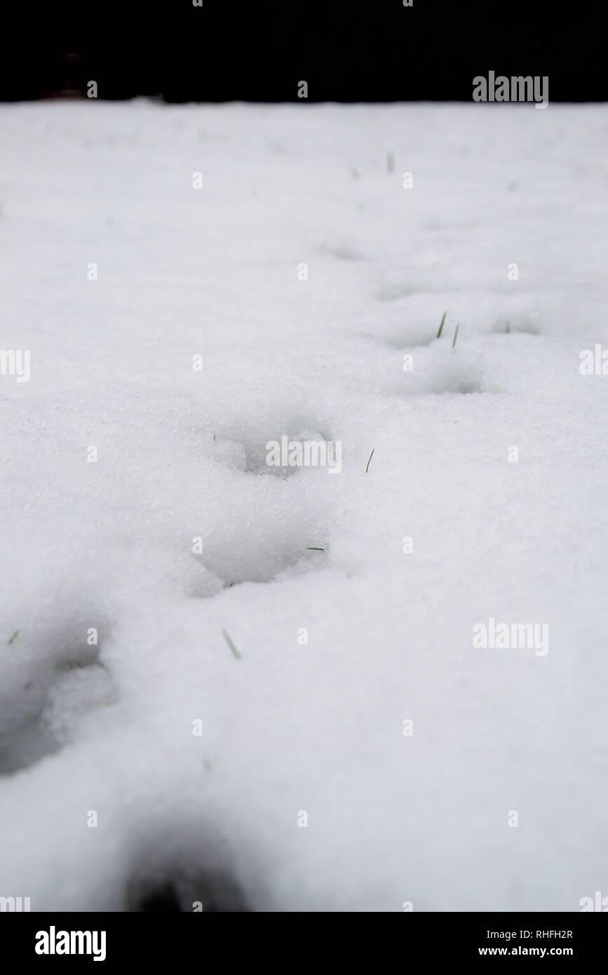 Animal tracks in snow - pheasant / bird walking towards camera, perspective showing direction. Green grass blades poking through snow. - Stock Image
