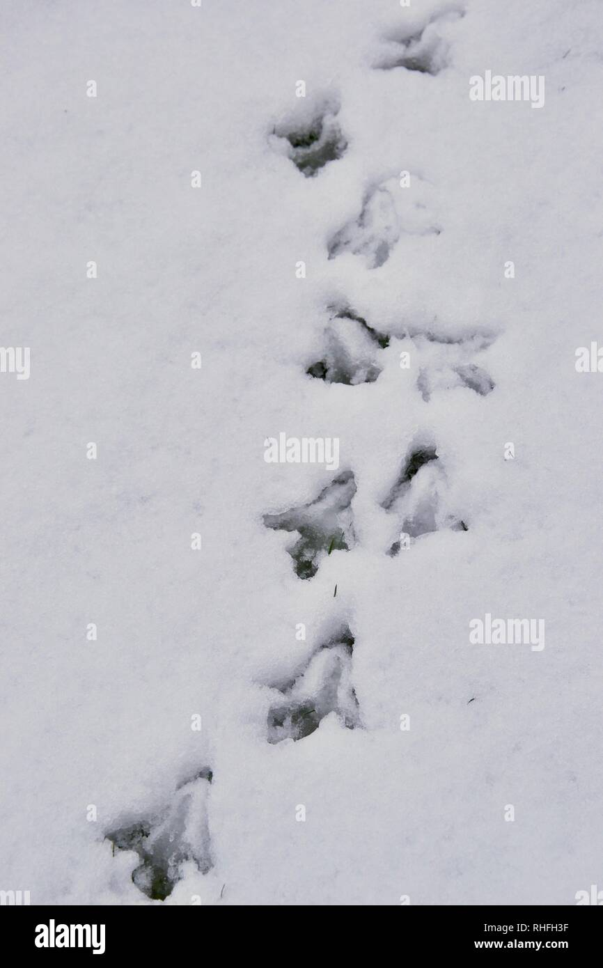 Top down shot of pheasant tracks (footprints of animal / bird) in the snow: a clear path showing direction - Stock Image