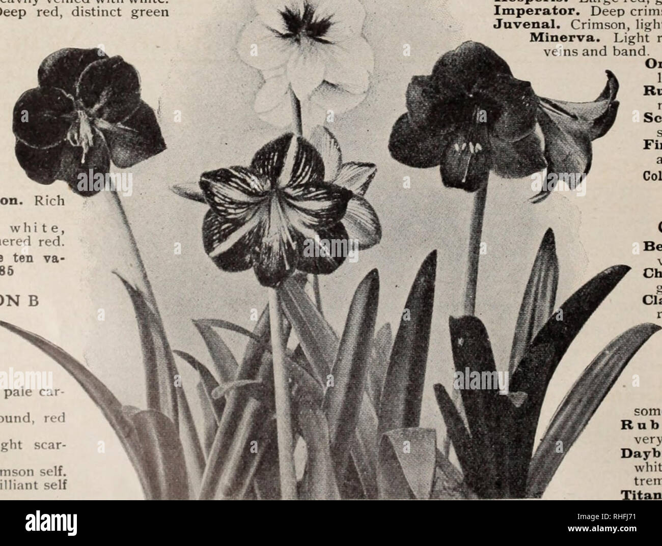 . Boddington's quality bulbs, seeds and plants / Arthur T. Boddington.. Nursery Catalogue. 24 Arthiir T.Boddington. 342 West 14th St.. New Vork City GOLD MEDAL AMARYLLIS (Kers) The most gorgeous and beautiful of all bulbous plants. The original speciea, Amaryllis aulicum, A. equeslre, A. psittacinum A. RegincE, etc., were first introduced to g.irdens mure than a century ago. Very many of these species were cultivated and flowered for the first time in Europe in the gardens of Liverpool merchants, whose ships brought them from tlie West Indian Islands and Brazil. The first recorded hybrid was r - Stock Image