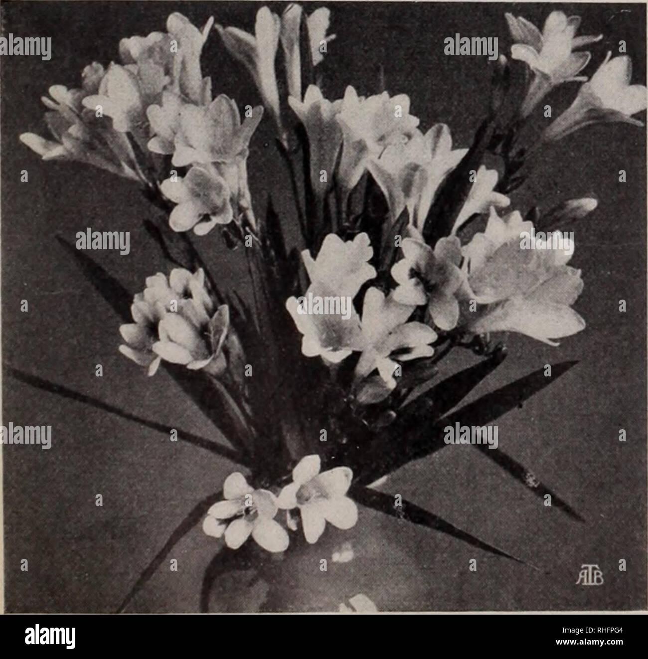 Boddington S Quality Bulbs Seeds And Plants Arthur T