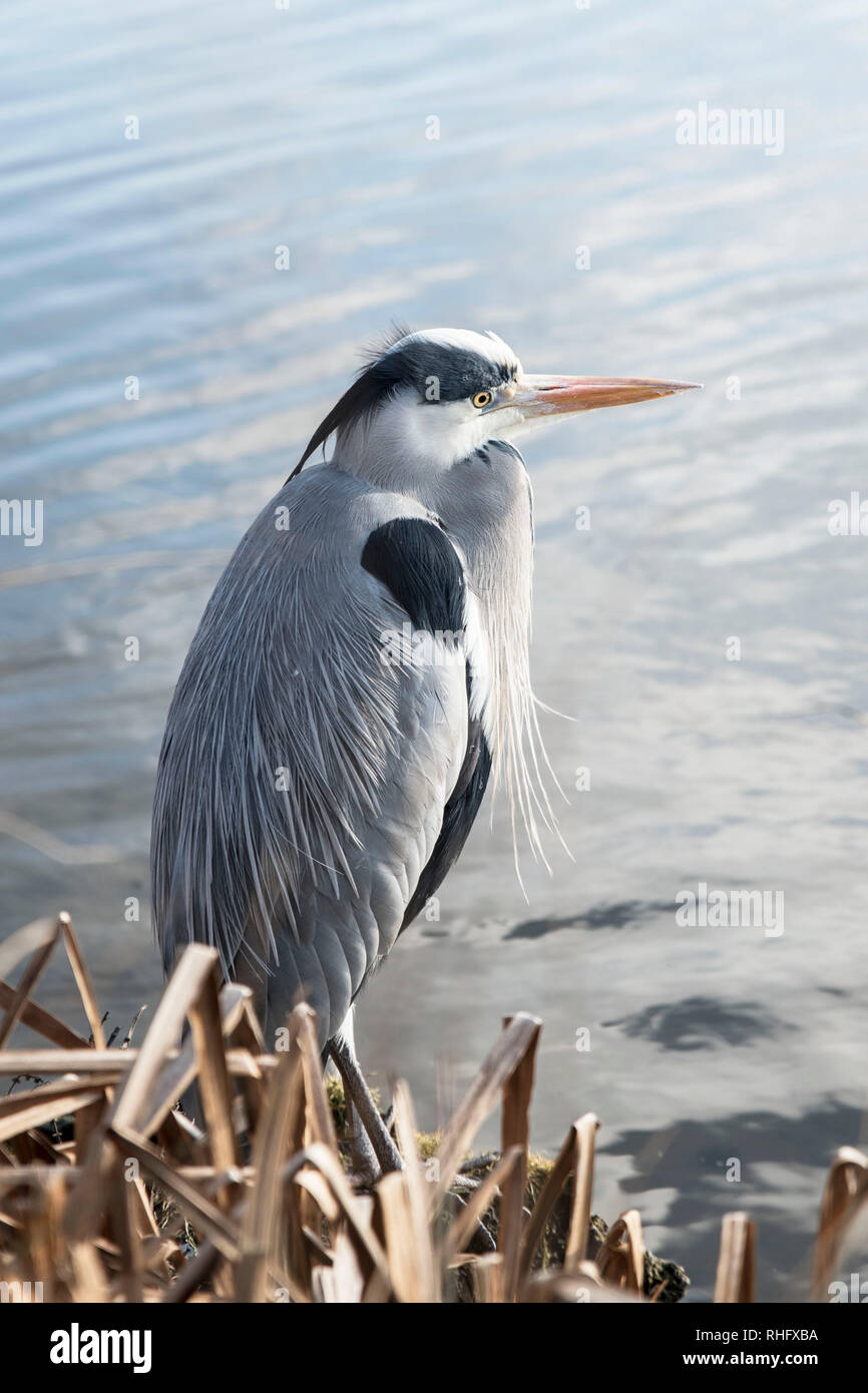 Grey Heron looking across pond - Stock Image