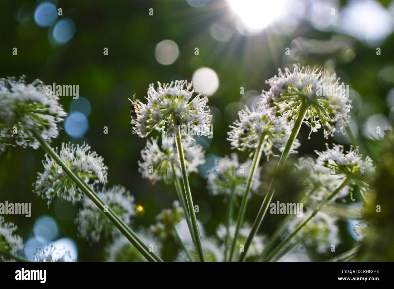Yarrow with insect - Stock Image