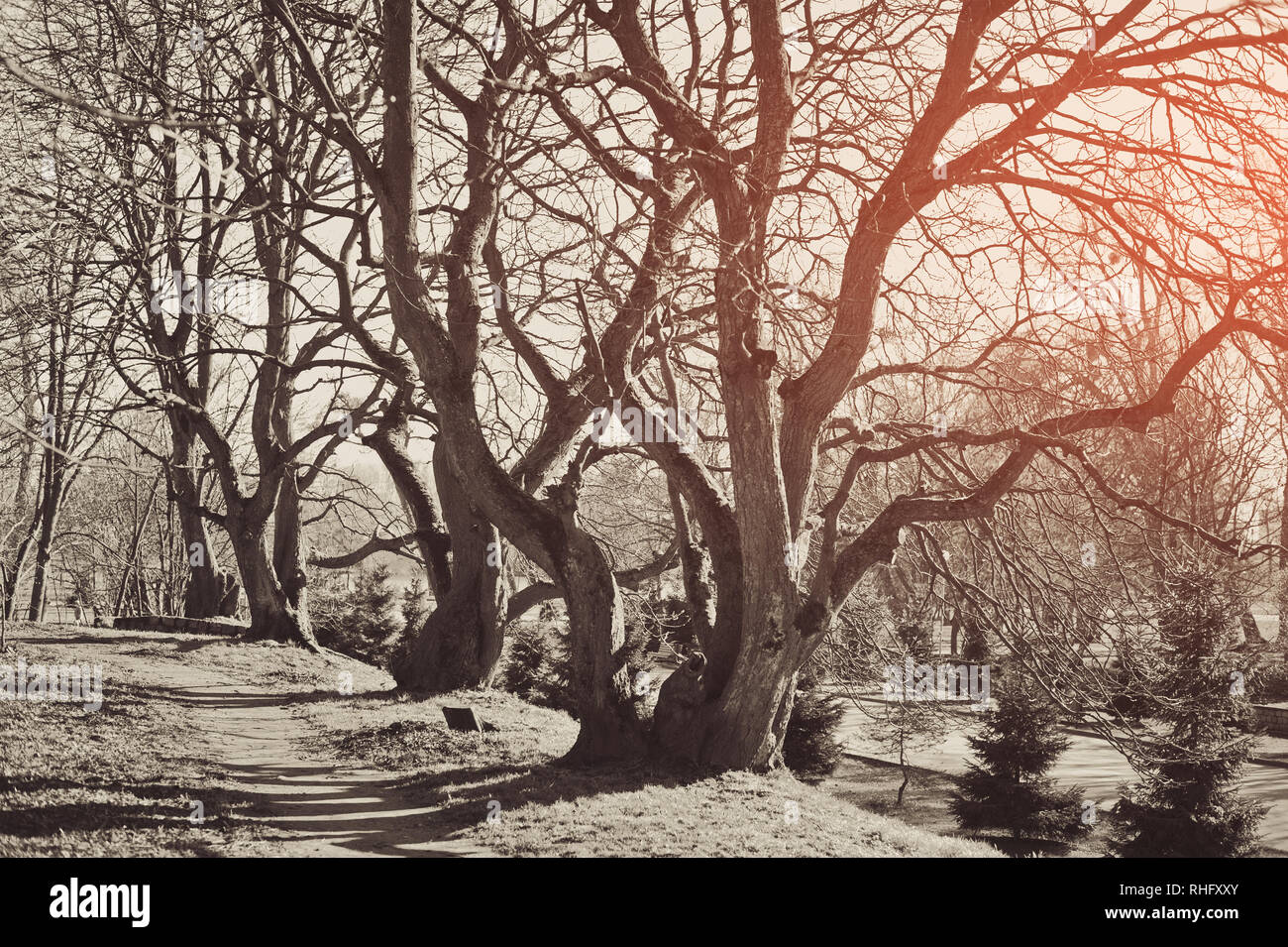 Mystical background. Ancient trees with knobby curving bare branches without leaves - Stock Image