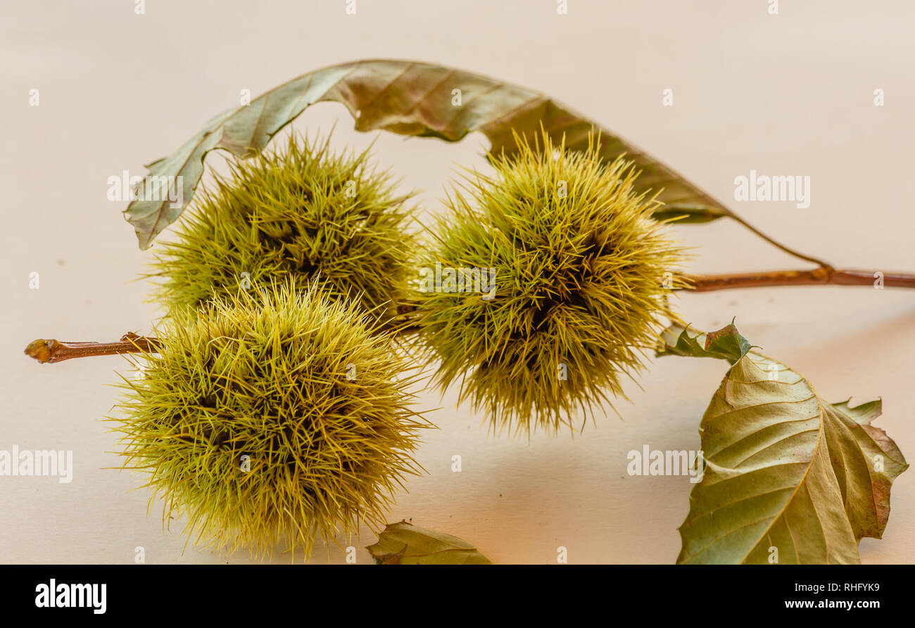 set of branches with the curls of a chestnut tree Stock Photo