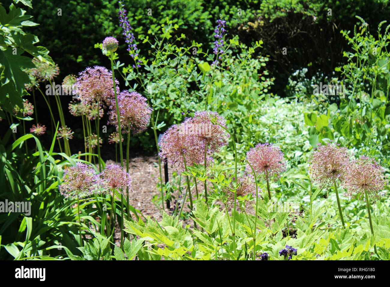 A cluster of Allium growing in a landscaped garden in Cantigny Park in Wheaton, Illinois in the spring - Stock Image