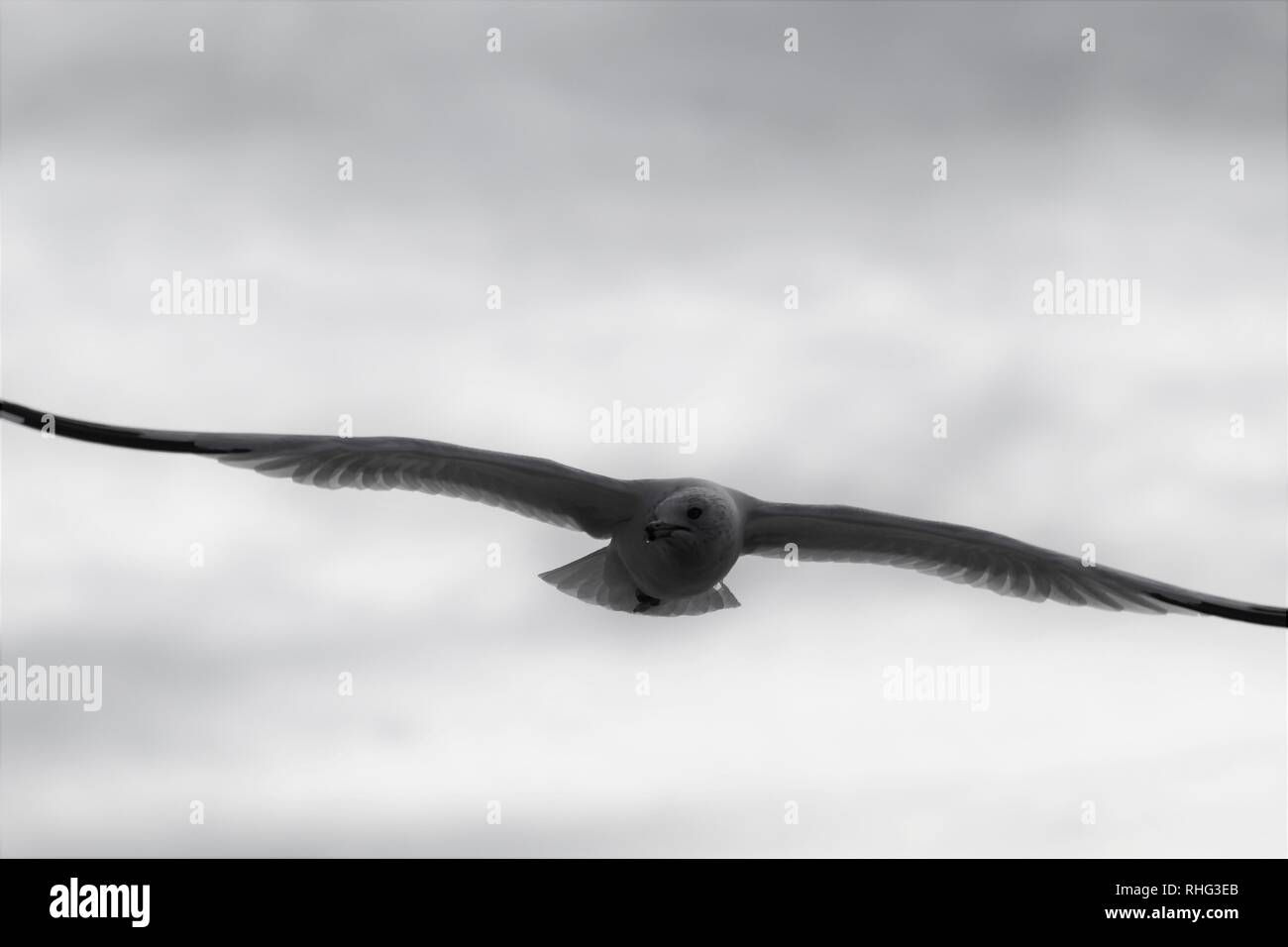 Herring Gull on the Colorado River soaring high with extended wingspan - Stock Image