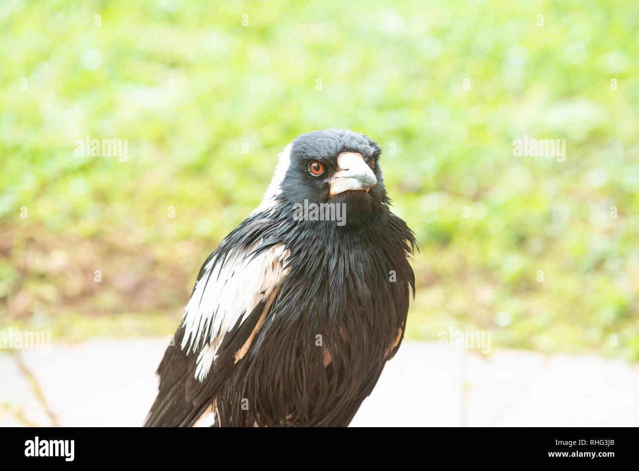 Australian Magpie wet after rain, Wollongbar, New South Wales, Australia - Stock Image