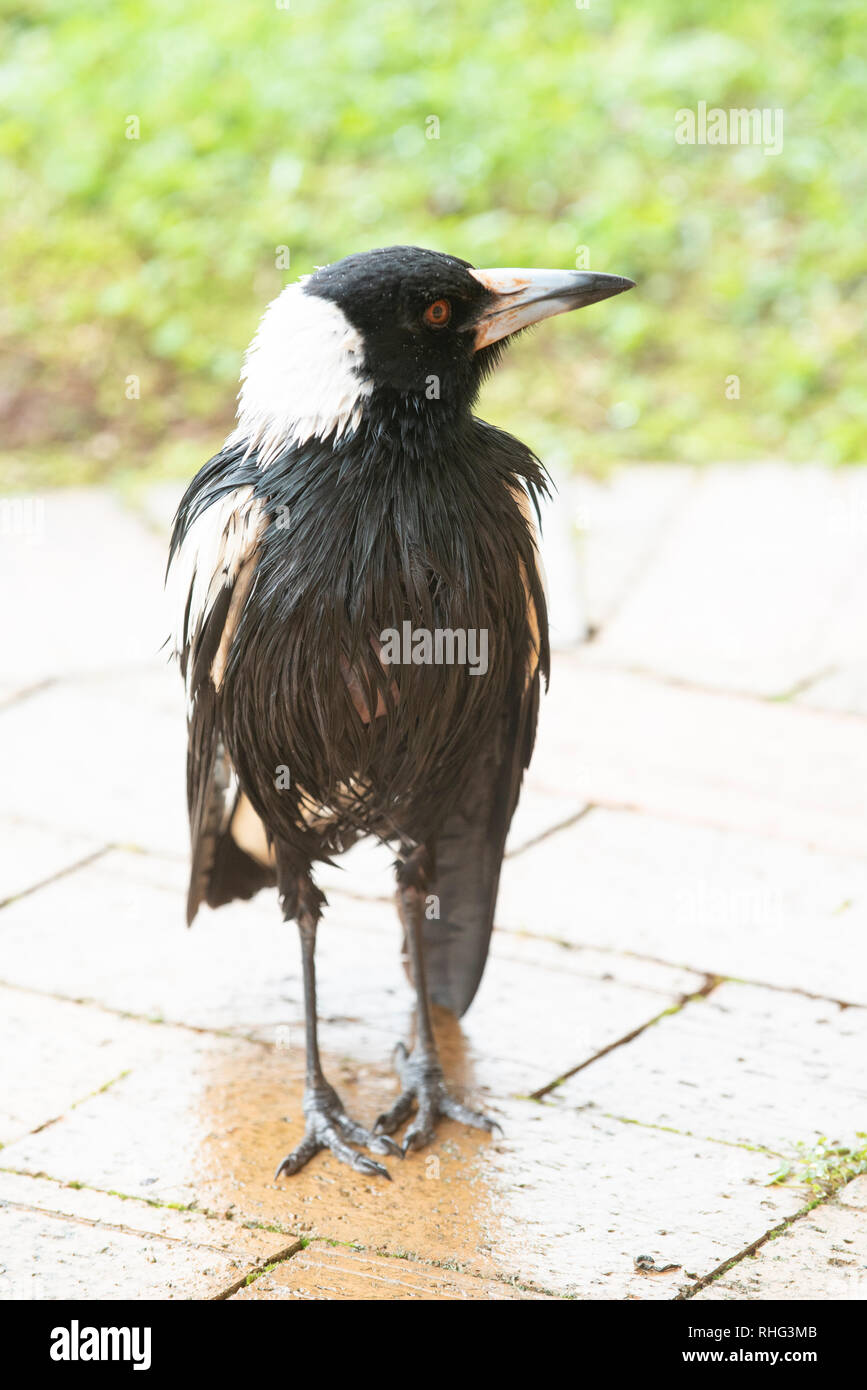 Australian Magpie wet after rain, Wollongbar, New South Wales, Australia Stock Photo