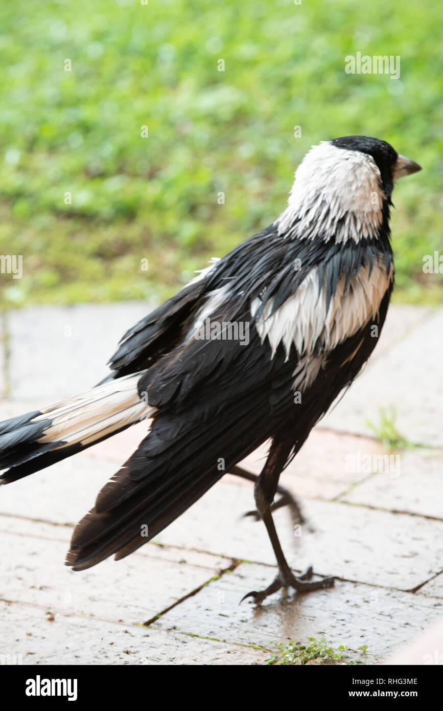 Australian Magpie wet after rain, Wollongbar, New South Wales, Australia Stock Photo