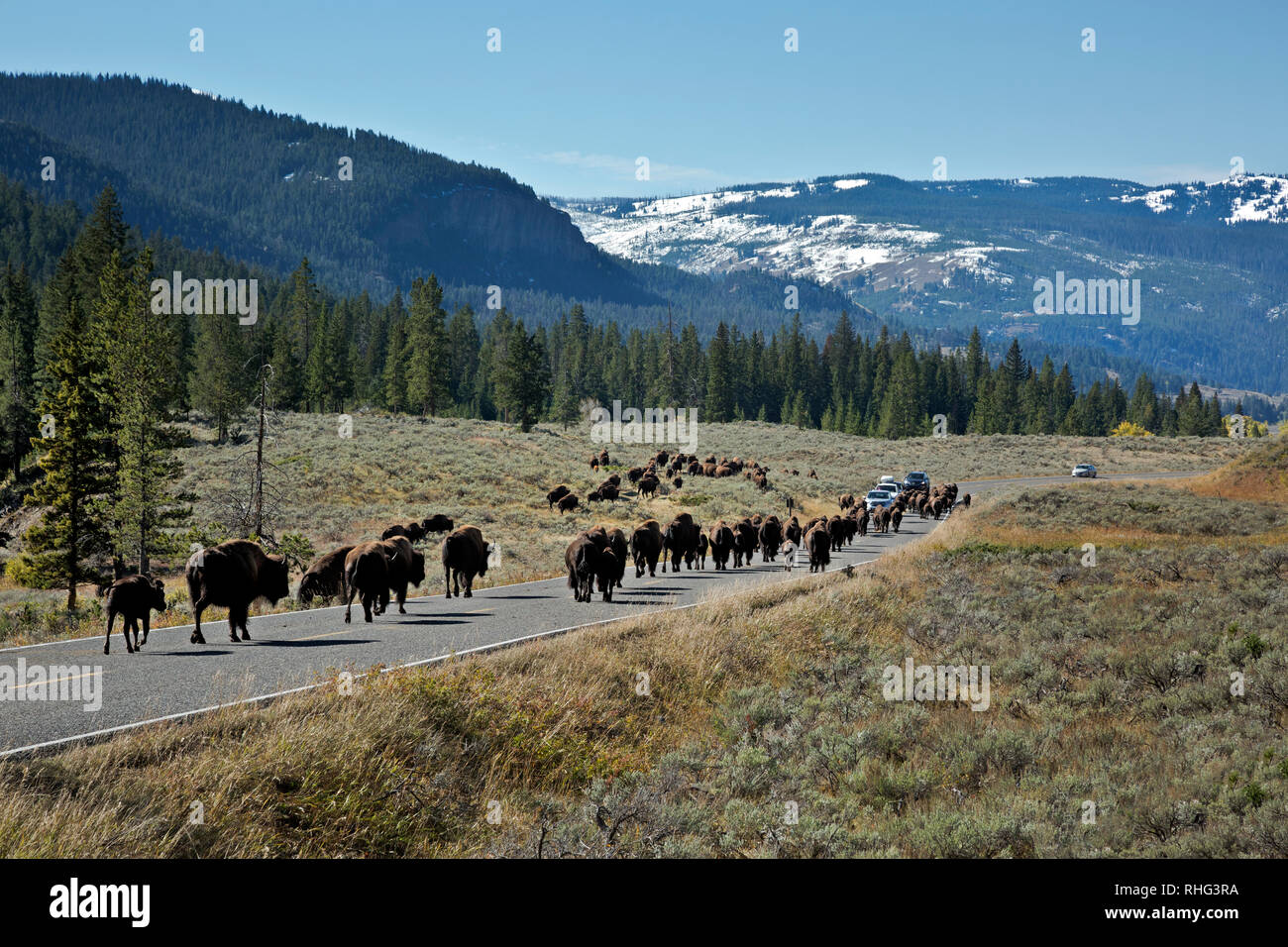 WY03097-00...WYOMING - A herd of buffalo using the Northeast Entrance Road to descend from the higher meadows into the Lamar Valley after an early sea - Stock Image