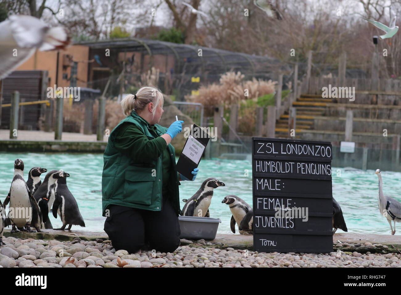 Annual Stocktake At London Zoo Humboldt Penguins Featuring