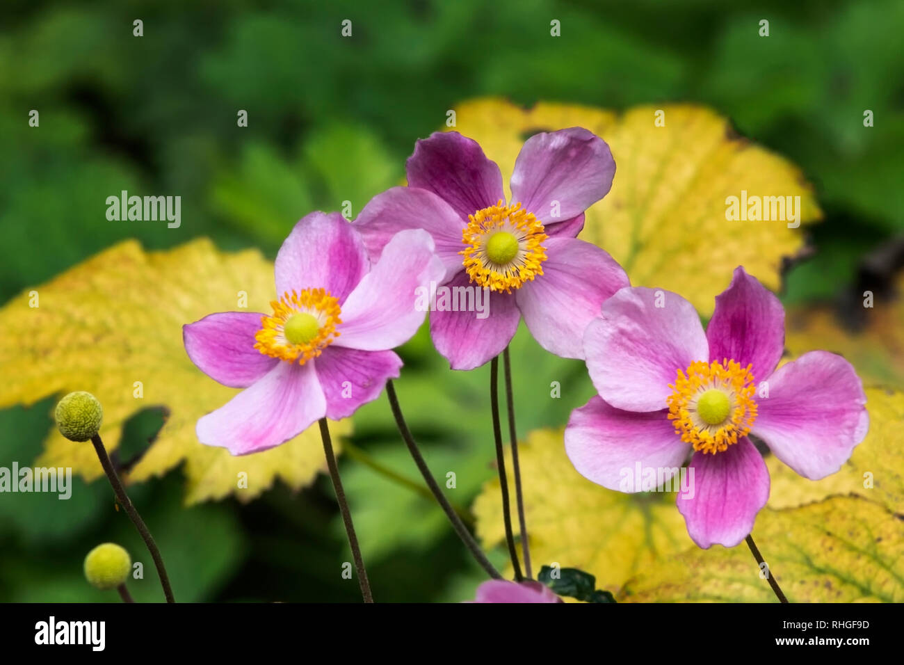 Pink and yellow 'Little Princess' anemone flowers growing in a row in a garden - Stock Image