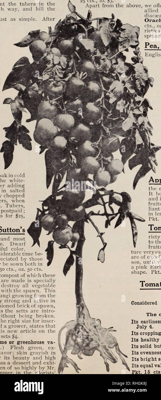 . Boddington's quality bulbs, seeds and plants / Arthur T. Boddington.. Nursery Catalogue. BODDINGTON'S ^A^CltlPl/ SEEDS 65 Heliantl '^'^ wonderful new winter vegetable. The greatest ad- •' dition to the vegetable kingdom for many years. A complete substitution in taste for fresh asparagus. Yields half as much again as the potato. Description.—Helianti is a hybrid of the sunflower family. It attains a height of lo feet or more, is very ornamental with its deep ffreen fohage and produces an abundance of bright yellow flowers, its important economic use, however, is the edible root tubers. It h Stock Photo