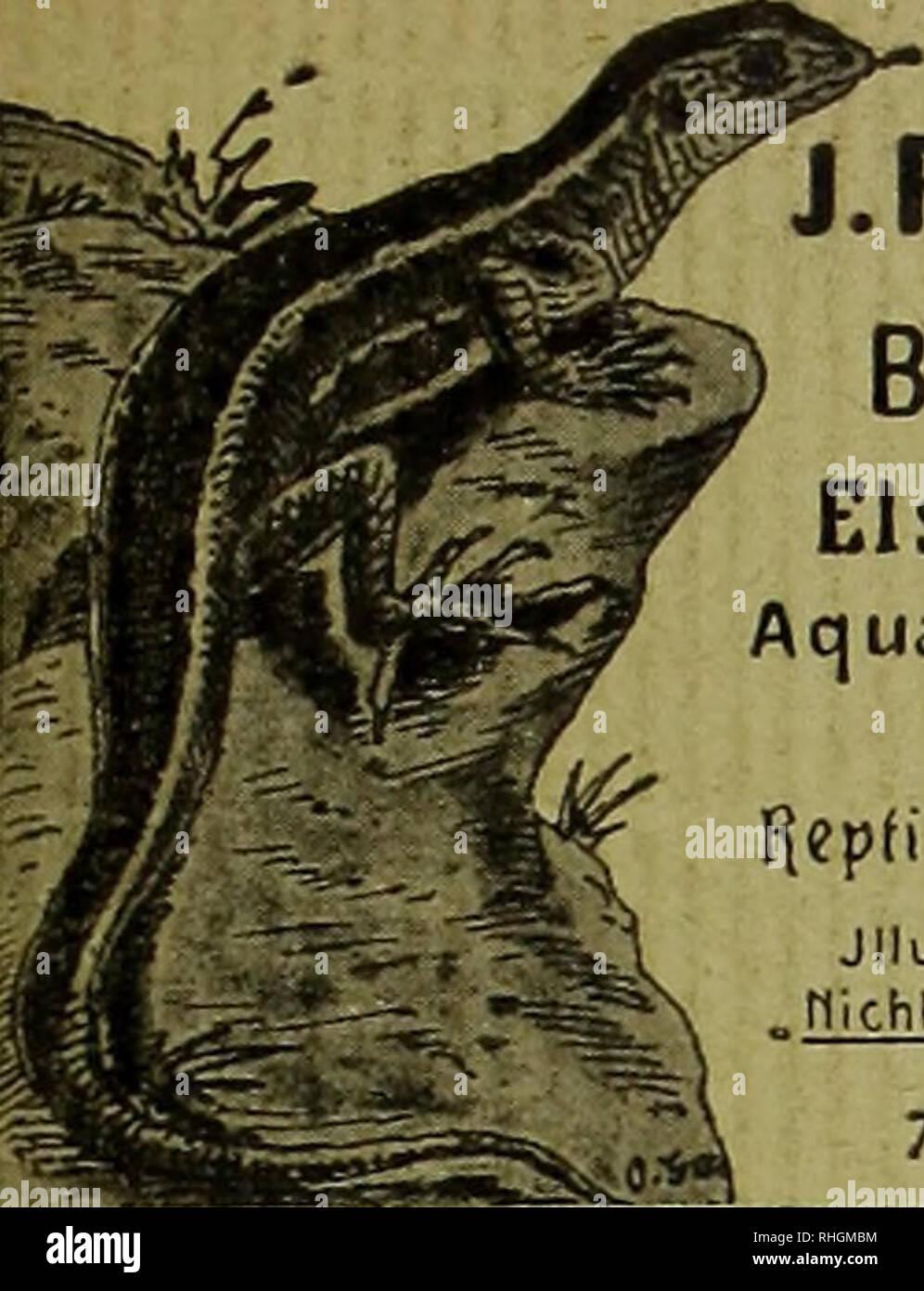 """. Blätter für Aquarien- und Terrarien-Kunde. Anzeigen. J.REICHELT Berlin N., Elsasserstr.12. A q ua ri en Je rra rie n, 'Zierfische, Repfifien.Tlriiphibien. Jllustr PreislisteA-Oj, """"nichfillustr.Vorratslisl-en QraHs """" Tel. m 8131. [699J Altlrovamlia vesionlosa L. Aldrovande. ™ Seltenste insektenfressende Aquarien pflanze mit Venus- fliegenfalle älmlichen Unterwasser- blättern, ä Stück 2 Mk. Ouvirandra fenestralis major, Gitter- pflanze v. Madagaskar, ä St. 10 Mk. .Acrosticlmm aureum, harter immer- grüner Wasserfarn, ä St. 2.50 Mk. H. Henkel, HofL Darmstadt.. Please note that these images  - Stock Image"""