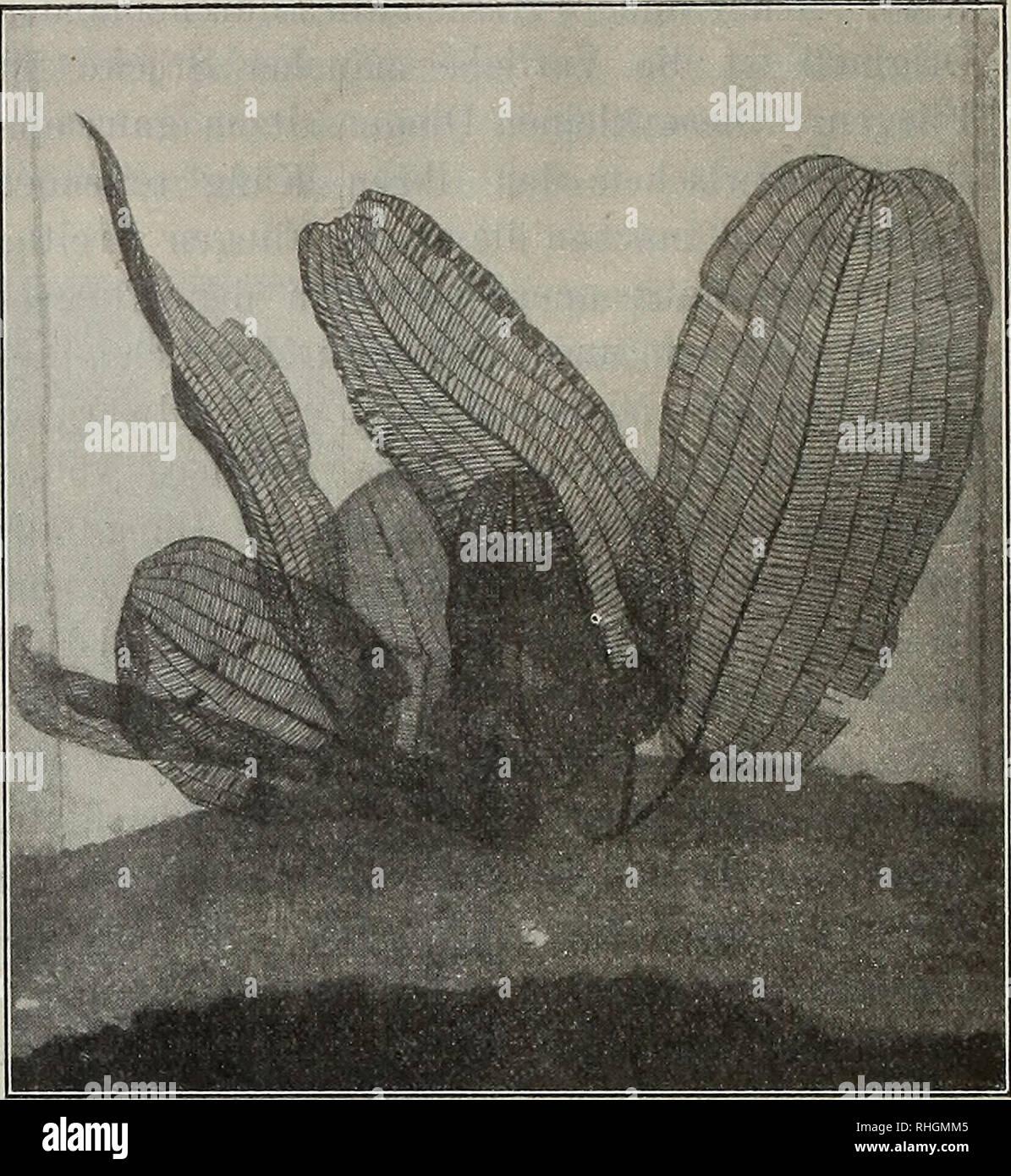 """. Blätter für Aquarien- und Terrarien-Kunde. Aponogeton fenestralis Hook. f. var. major, Naturselbstdruck eines jungen Blattes.. Originalaufnahme für die """"Blätter"""". Aponogeton fenestralis Hook. f. var. major. '/* natürl. Größe. Fi?a£ekasfen. S. N., Oknitza (Rußland). Frage: Ich will bei meinen Seewasseraquarien statt der bisherigen Preßluft- durchlüftung eine Injektionsdurchlüftung einrichten und da muß ich das abgelaufene Wasser aus dem unteren Reservoir in das hochgestellte mittelst einer Hand- pumpe heben. Aus welchem Material muß die Pumpe sein? Man warnt doch gewöhnlich in allen Schr - Stock Image"""
