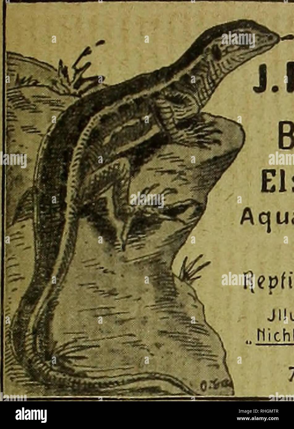 . Blätter für Aquarien- und Terrarien-Kunde. n z e i g e n. J.REICHELT Berlin N., Elsasserstr. 12. A q ua ri en Je rra rie n, Zierfische, r]epfüien, Amphibien. Jlluslr- Preislisre40Ji ,. flicht illusIr.Vorrarslisl-en Tel. ET 8131. 654 Aldrovandia vesioulosa L Aldrovande. ^ Seltenste insektenfressende Aquarienpflanze mit Venus- fliegenfalle ähnlichen Unterwasser- blättern, ä Stück 2 Mk. Oiivirandrn, fenestralis major, Gitter- pflanze v. Madagaskar, ä St. 10 Mk. Aerosticliuiii aureuni, harter immer- grüner Wasserfarn, ä St. 2.50 Mk. H. Henkel, Hofl., Darmstadt.. 0. Eggeling, New-York, Importeur  - Stock Image