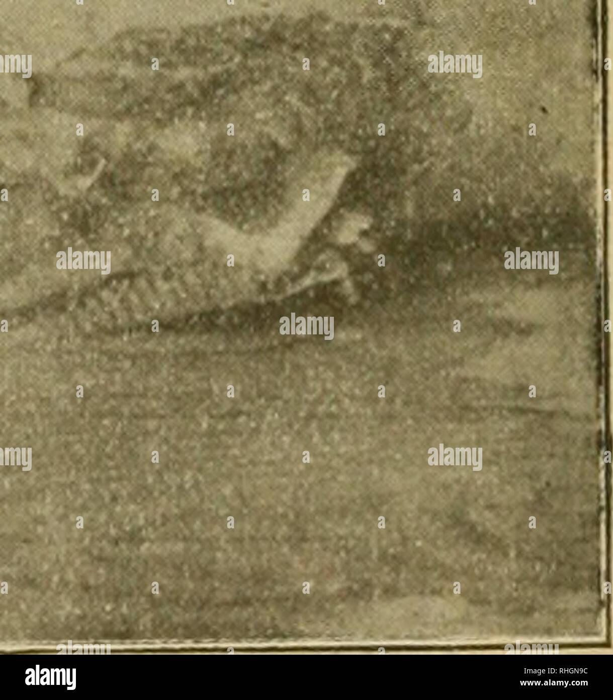 . Boletin de pescas. Fisheries. (Fig. 2.») Cabeza de Cephaloptera, vista ventralmente. janza de parches, bastando tirar de un extremo para levan- tarlas, sin dificultad ni gran esfuerzo, quedando separadas de las mandíbulas por completo sin que sufran dieterioro alguno. En cxmbas cintas, que son iguales, y me permito conside- rarlas a manera de encías, se encuentran insertos multitud de dientecitos calizos de diminuto tamaño, no llegan a medio milímetro de espesor, colocados con no mucha regularidad. Please note that these images are extracted from scanned page images that may have been digita - Stock Image