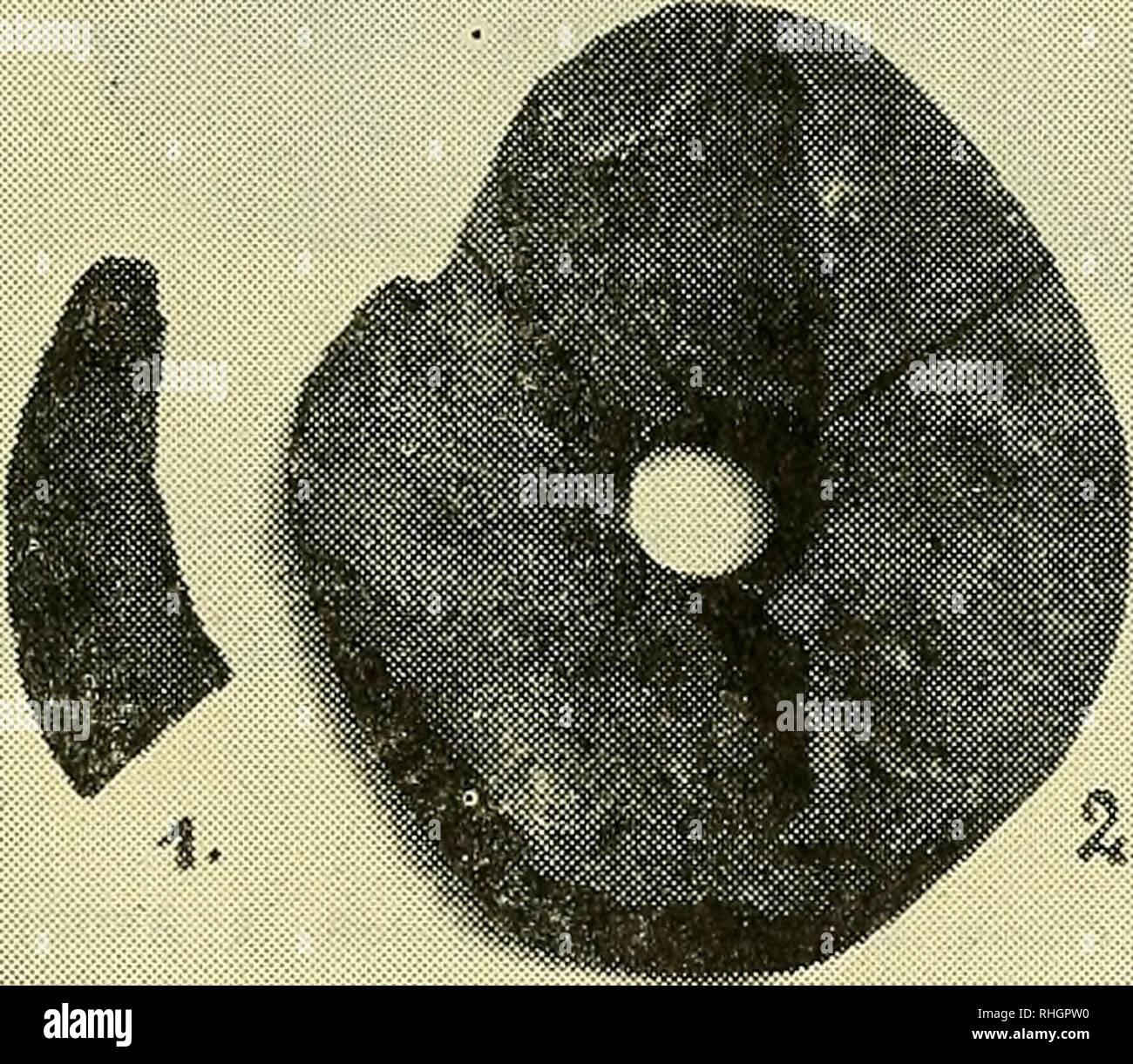 """. Boletin de la Sociedad de Biología de Concepción. Sociedad de Biología de Concepción; Biology; Biology. FIGURA 1. (Anruelos de piedra). MANGAI MAEA (anzuelos de piedra), llamados también MANGAI KAHI, (KAHI indica Atún o Tuna íish) para la pesca del ATÚN. 1) fragmento pulido correspondiente a la punta y 2) fase de elaboración inicial en una piedra horadada. Estos anzuelos de piedra fueron después reemplazados por los MANGAI IVl TANGNATA. La hechura y el pulimento de estos MANGAI de piedra son de perfección insuperable y han merecido el gran elogio de hombres de ciencia. Beasley dice: """"Es - Stock Image"""