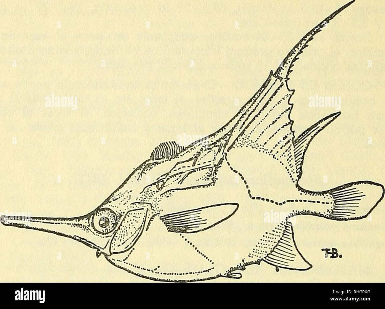 . Boletin de la Sociedad de Biología de Concepción. Sociedad de Biología de Concepción; Biology; Biology. Macrorhamphosus scolopax (Linnaeus), 1758. Figura 2.— Macrorham-phosus scolopax (Linnaeus), tomado de Lozano. Macrorhamphosus scolopax Mohr, 1937 : 36, íigs. 20-21 (descripción) — De Buen, 1959.6 : 40. LOCALIDADES.— Magcdlanes de la colecdón Cunningham en el Museo Británico y en Sctn Félix: 26° 30' S, 80° 30' W., en el Museo de Hamburgo (Mohr, 1937). Macrorhamphosus gracilis (Lowe), 1839 Macrorhamphosus gracilis Mohr, 1937 : 33, fig. 19 (descripción) 1959.6 : 40. LOCAUDADES.—Juan Fernández - Stock Image
