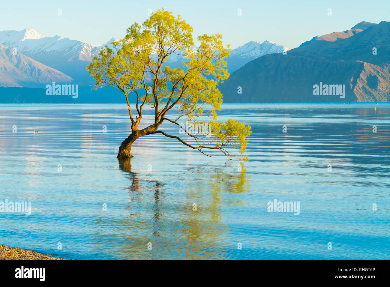 Water ripples around That Wanaka Tree, willow tree growing in lake is popular tourist scene in long exposure with sunset colors reflected from snow co Stock Photo