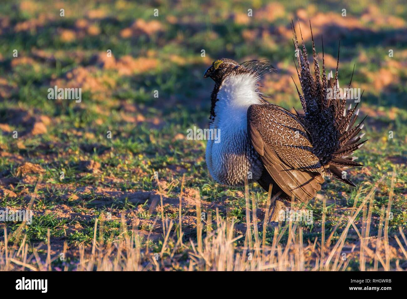 A male sage grouse (Centrocercus urophasianus) displays at a lek in Colorado - Stock Image