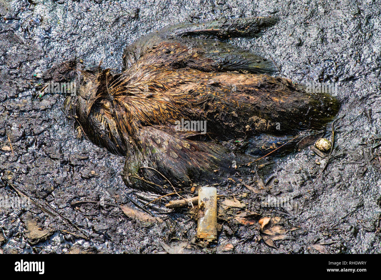 Oriental turtle dove (Streptopelia orientalis) carcass in toxic sludge on the outskirts of Incheon, Korea - Stock Image