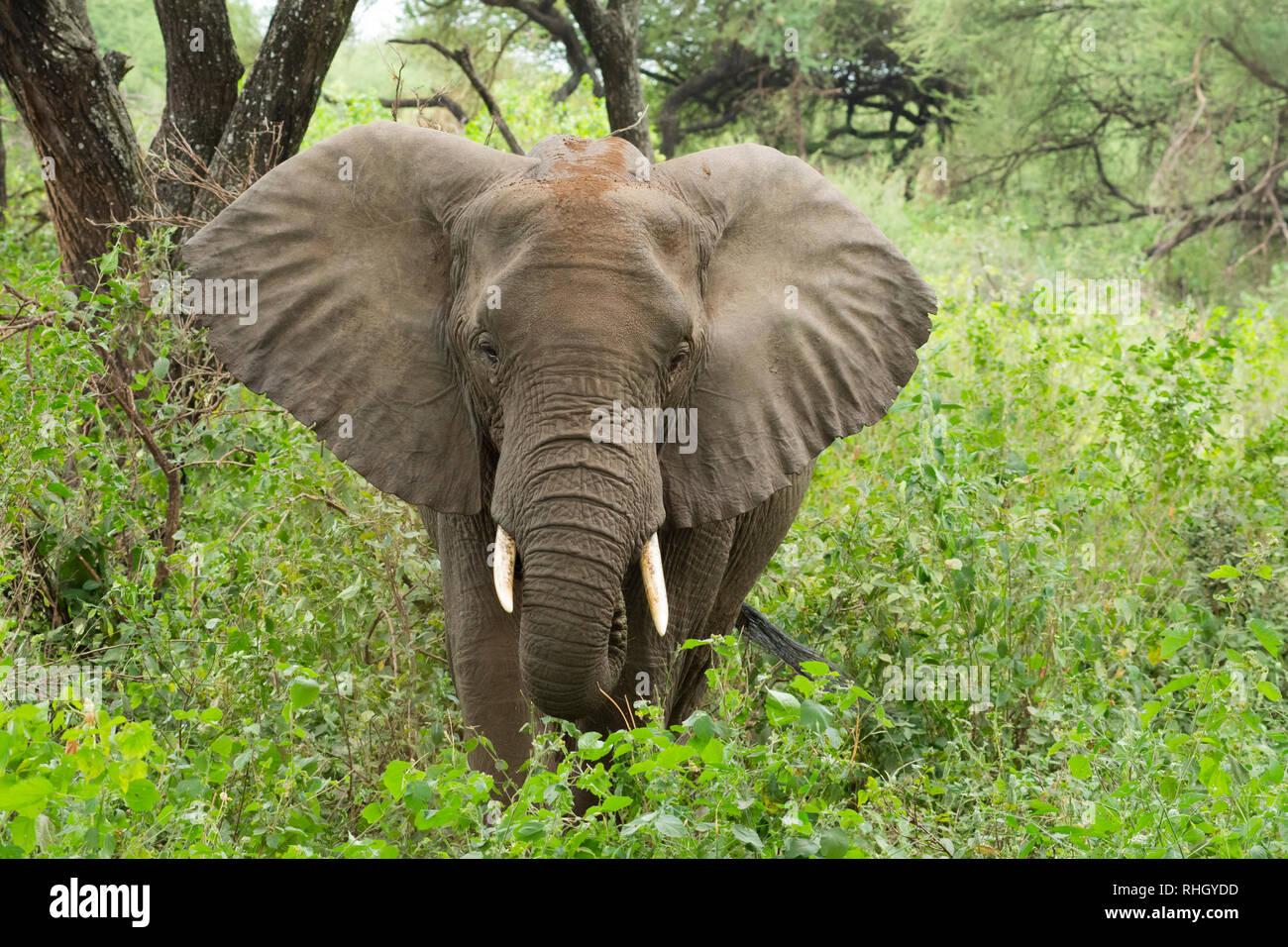 African Elephant, Loxodonta africana, in Lake Manyara National Park, Tanzania - Stock Image